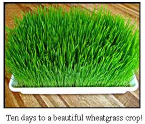 Grown Sproutman Wheatgrass Crop