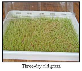 Sproutman Wheatgrass Crop 3-Days Old